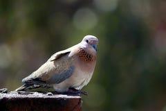 Taube auf Dachspitze Stockfotos