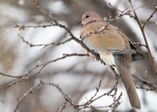 Taube auf dem Baum im Winter Stockbilder