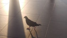 Taube auf dem Boden Lizenzfreie Stockbilder