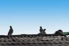 Taube auf dem Dach Stockbild