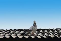 Taube auf dem Dach Stockfotos