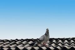 Taube auf dem Dach Lizenzfreies Stockfoto