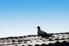 Taube auf dem Dach Stockfoto