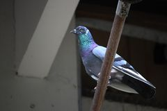 Taube auf dem Dach Stockfotografie
