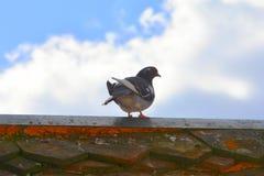 Taube auf dem Dach Lizenzfreie Stockbilder