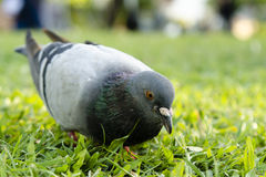 Taube auf dem Gras sucht nach etwas Lebensmittel (selektivem Fokus) Lizenzfreie Stockfotografie