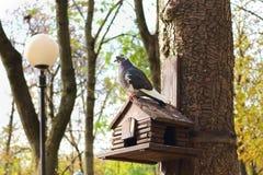 Taube auf dem Nistkasten, Vogelhaus im Park Stockbild
