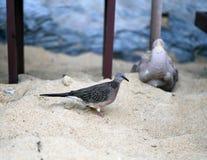 Taube auf dem Strand Lizenzfreies Stockbild