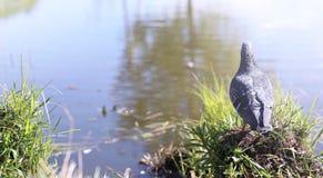Taube auf dem Ufer des Teichs Ein grauer Vogel durch den Fluss Der AVW-Tageshistorische Stall gelegen im schlafenden Bären-Düne-S Lizenzfreies Stockfoto
