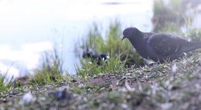 Taube auf dem Ufer des Teichs Ein grauer Vogel durch den Fluss Der AVW-Tageshistorische Stall gelegen im schlafenden Bären-Düne-S Lizenzfreies Stockbild