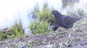 Taube auf dem Ufer des Teichs Ein grauer Vogel durch den Fluss Der AVW-Tageshistorische Stall gelegen im schlafenden Bären-Düne-S Lizenzfreie Stockfotografie