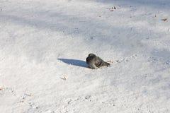 Taube auf dem weißen Schnee aalend in der Sonne Lizenzfreie Stockfotografie