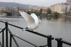 Taube auf der Bank der Moldaus Stockfotografie