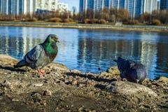 Taube auf der Bank des Flusses stockfotos