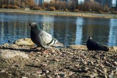Taube auf der Bank des Flusses lizenzfreie stockfotos