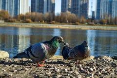 Taube auf der Bank des Flusses lizenzfreie stockfotografie