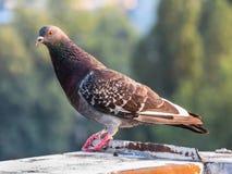Taube auf der Dachspitze Stockbild