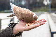 Taube auf der Hand Stockbilder
