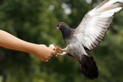 Taube auf der Kindhand lizenzfreie stockfotografie
