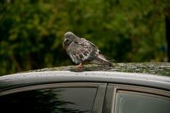 Taube auf einem Autodach Stockfotografie