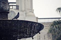 Taube auf einem Brunnen Stockfotos