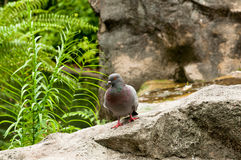 Taube auf einem Felsen Stockbild