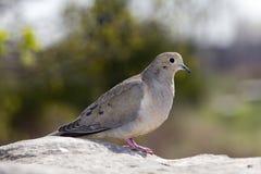 Taube auf einem Felsen Lizenzfreies Stockbild