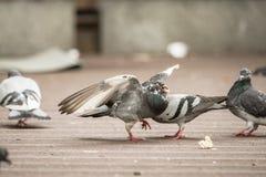 Taube auf einem Stadtbürgersteig verbreitet seine Flügel und schließt seine Augen beim Essen des Brotes lizenzfreie stockfotografie