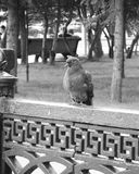 Taube auf einem Zaun lizenzfreies stockfoto
