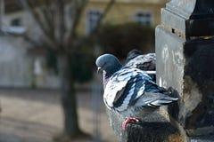 Taube auf einer Leiste Stockbild