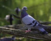 Taube auf einer Niederlassung in verlorener Lagune lizenzfreie stockbilder