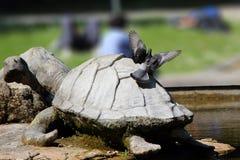 Taube auf einer Steinschildkröte Stockbild