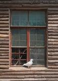 Taube auf Fenster Lizenzfreies Stockbild