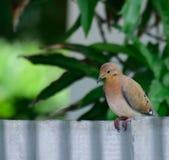 Taube auf Galvanize Zaun stockbild