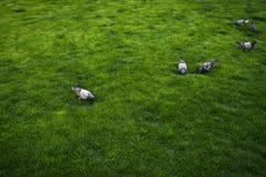 Taube auf Gras Lizenzfreie Stockfotos