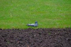 Taube auf Gras Stockbilder