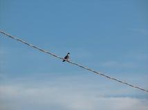 Taube auf Kabel Stockbild
