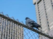 Taube auf metallischem Zaun Lizenzfreies Stockbild