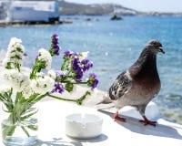 Taube auf Mykonos Stockfotos