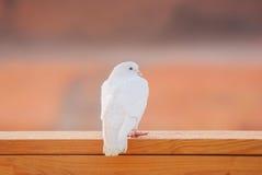 Taube auf Portalgeländer Stockbild