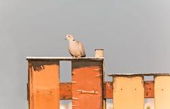 Taube auf Zaun Stockbilder