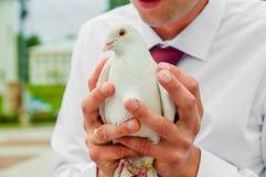 Taube in den Händen Stockfotografie