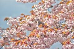Taube in der Blüte Stockfotos