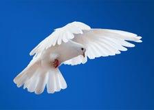 Taube in der Luft mit den breiten Flügeln öffnen sich Stockfotografie