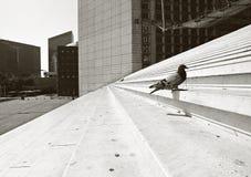 Taube in der Stadt Lizenzfreies Stockfoto