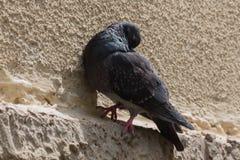 Taube in der Stadt Stockfotografie