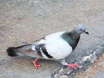 Taube, die auf Bürgersteig geht Stockbild