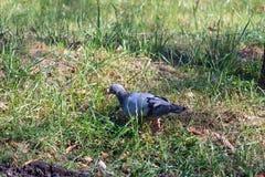 Taube, die auf das Gras geht Drossel auf einem grünen Rasen Gelber Herbstlaub auf dem Gras stockfotos