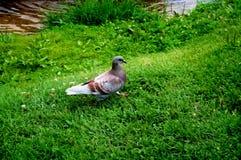 Taube, die auf das Gras geht stockfoto