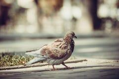 Taube, die auf den Bürgersteig geht stockfotografie